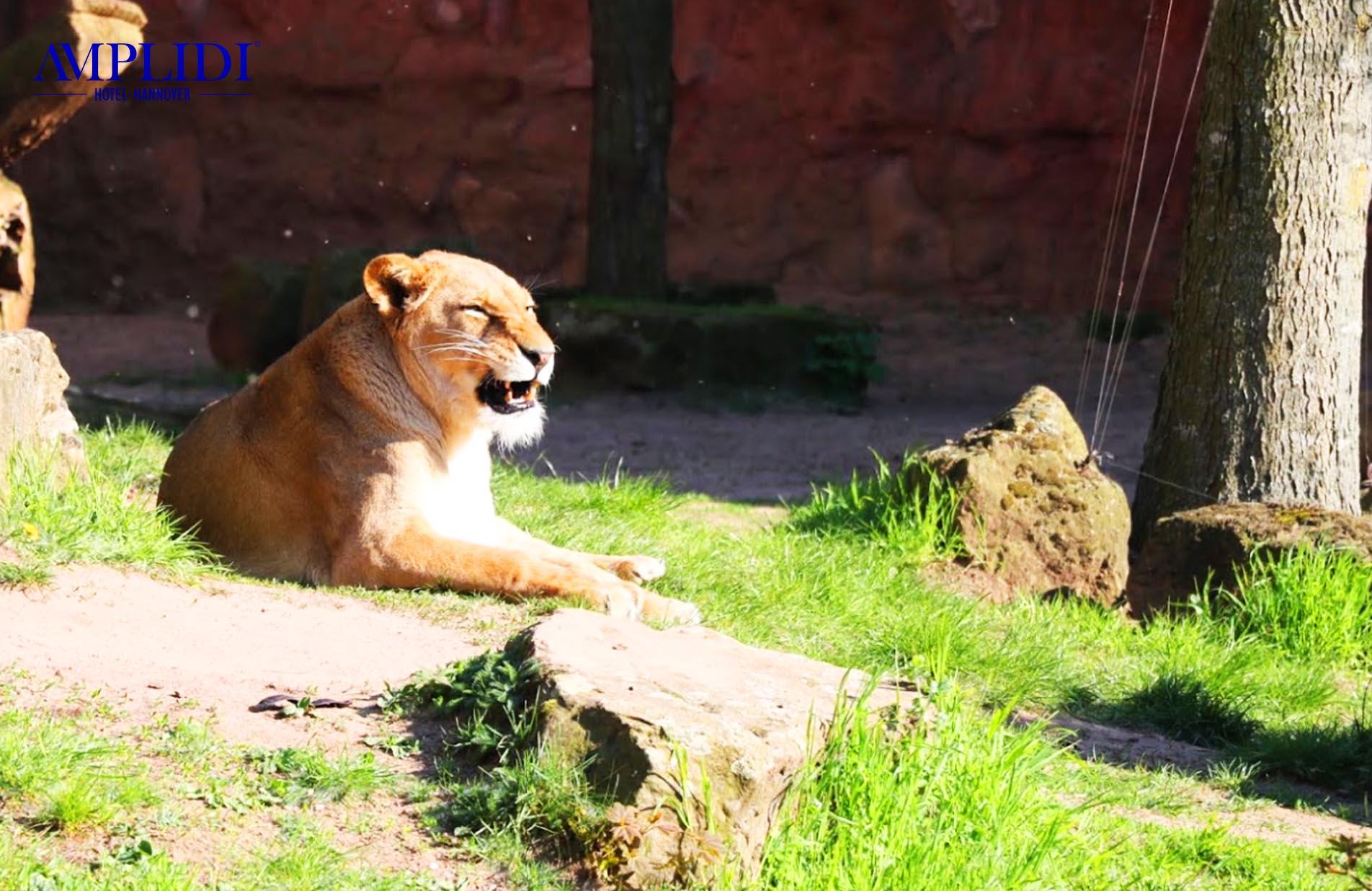 Löwen im Zoo Hannover